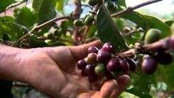 Produtores de Brejetuba, ES, mostram cultivo de café especial