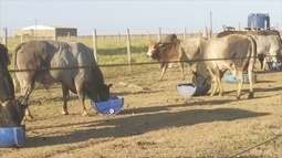 Touros que vão disputar rodeio chegam a Ariquemes