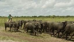 Terra da Gente acompanha a lida dos búfalos na Ilha de Marajó (Bloco 01)