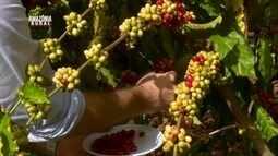 Parte 2: Cafeicultura volta a ser uma das principais atividades agrícolas do estado de RO