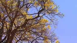 Ipê-amarelo é preservado em chacará