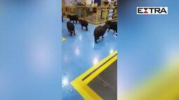 Capivaras invadem indústria em Itajaí