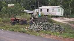 Parte 2: confira terra do abacaxi e o crescimento na produção de frutas, em Itacoatiara-Am