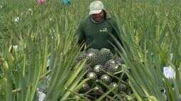 Produtores de abacaxi esperam superar colheitas de 2016