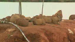 Invasão de capivaras chama atenção em Vargem Grande do Sul, SP