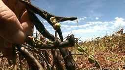 Chuva prejudica lavouras de feijão no Paraná
