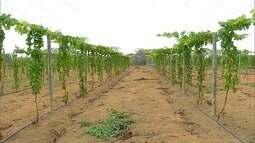 Em Martins, produtor investe no cultivo de Maracujá e uva