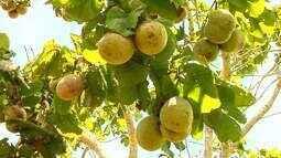 Produtores de Iturama investem nas plantações de pequi