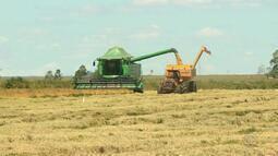 Com previsão de queda, começa a colheita do arroz no RS