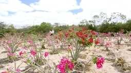 Chapada Diamantina é o recanto da famosa e rara rosa do deserto