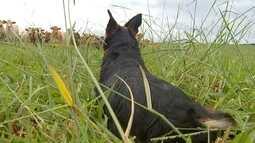 Cães de pastoreio ajudam na lida do campo