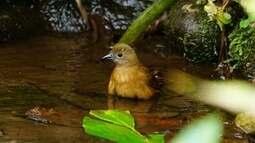 Aves tomam banho para limpar as penas