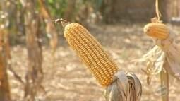 Colheita do milho safrinha começa em MS e preço do grão sobe