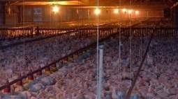 BRF encerra produção de frangos, ovos e ração em Campo Verde
