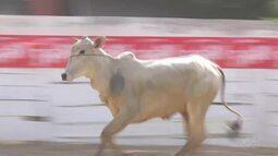 Veja a programação do rodeio crioulo para esta sexta, em Ariquemes