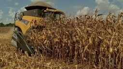 Produtores de milho destinam parte da safra para usinas de etanol