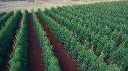 Bicho Mineiro preocupa produtores de tomate no Triângulo