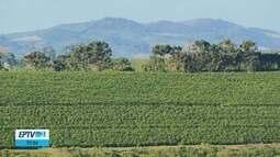 Censo Agropecuário aponta que Sul de Minas foi região que mais aumentou produção de café
