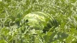 Parte 1: Produção de melancia cresce no Acre