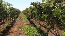 Festa e cavalgada celebram a colheita da uva em Paraúna
