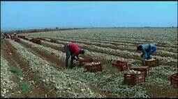 Preço da cebola cai e preocupa produtores do Alto Paranaíba