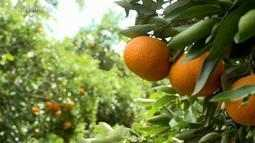Produção de laranjas e bergamotas de Rosário do Sul conquista mercado europeu