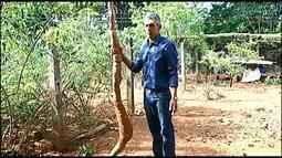 Jardineiro colhe mandioca gigante em propriedade em Araxá