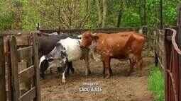 Produtores de Casimiro de Abreu utilizam técnica de inseminação artificial das vacas