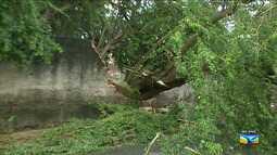 Após chuva, árvore cai no bairro Bequimão em São Luís