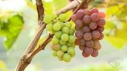 Excesso de chuva prejudica produtores de uva em Santa Teresa, ES