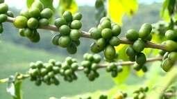 Renovação de lavouras antigas aumenta produtividade e qualidade do café, ES