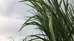 Produtores de cana esperam chuva para terem uma boa safra que começa em maio