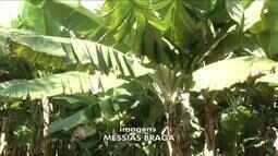Pós-doutora em produção vegetal explica o por que de uma bananeira ter dado cinco cachos