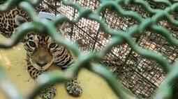 Giro Rural destaca captura de onça-pintada no Jardim Botânico em Juiz de Fora