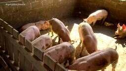 Produtores gaúchos de suínos comemoram aumento de 41% nas exportações