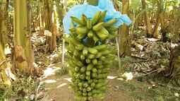 Maranhão possui uma das maiores áreas de produção de banana no Brasil