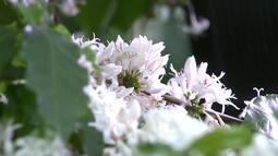 Florada do café anuncia boa safra pela frente