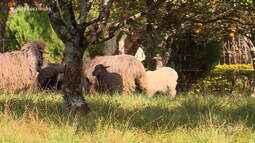 Produtores da ovinocultura têm expectativa de ganhos nas exposições de primavera