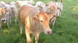 Raça araguaia é uma das mais novas do rebanho bovino brasileiro