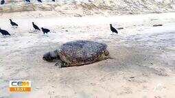 Óleo nas praias. mais uma tartaruga encontrada morta no Ceará