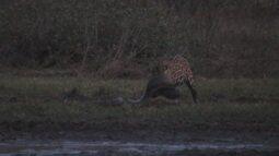 Vídeo mostra onça-pintada predando sucuri de seis metros