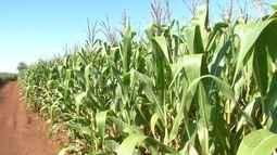 Colheita de milho está praticamente concluída em MS