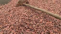 Pequenos agricultores agregam valor à produção de cacau em sistema agroflorestal