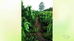 Ufes conseguiu o registro de uma nova cultivar de café conilon