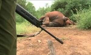 Matança de elefantes e rinocerontes na África preocupa ambientalistas