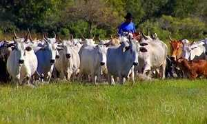 Produção de gado orgânico usa homeopatia e remédios naturais