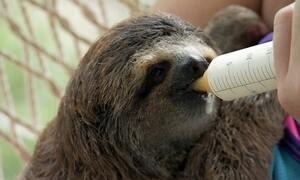 Voluntárias cuidam de bicho-preguiça e tamanduá que perderam suas mães