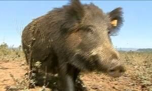 Praga de javalis destrói plantações e tira o sono de agricultores em SP