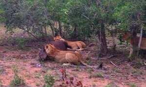 Casal em lua de mel flagra duelo entre leões e búfalos em safári na África