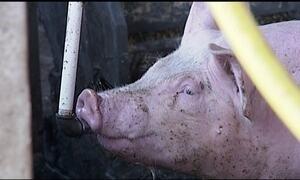 Aumenta o valor pago pelo quilo do suíno vivo em Minas Gerais